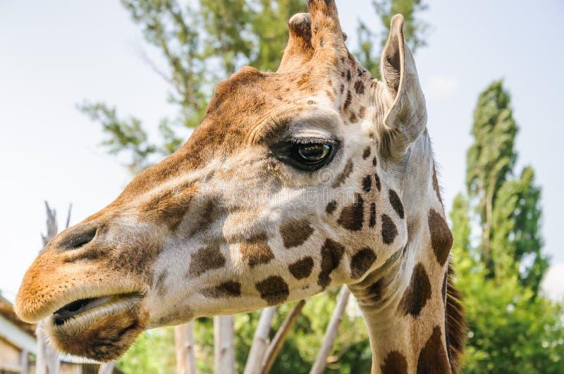 Het hoofd van de Rothschild` s Giraf royalty-vrije stock foto's