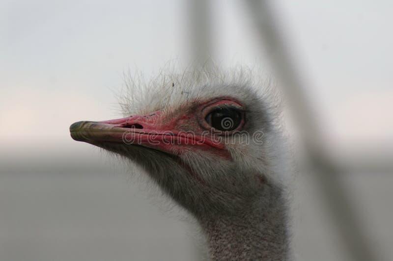 Het hoofd van de struisvogel is dicht royalty-vrije stock fotografie