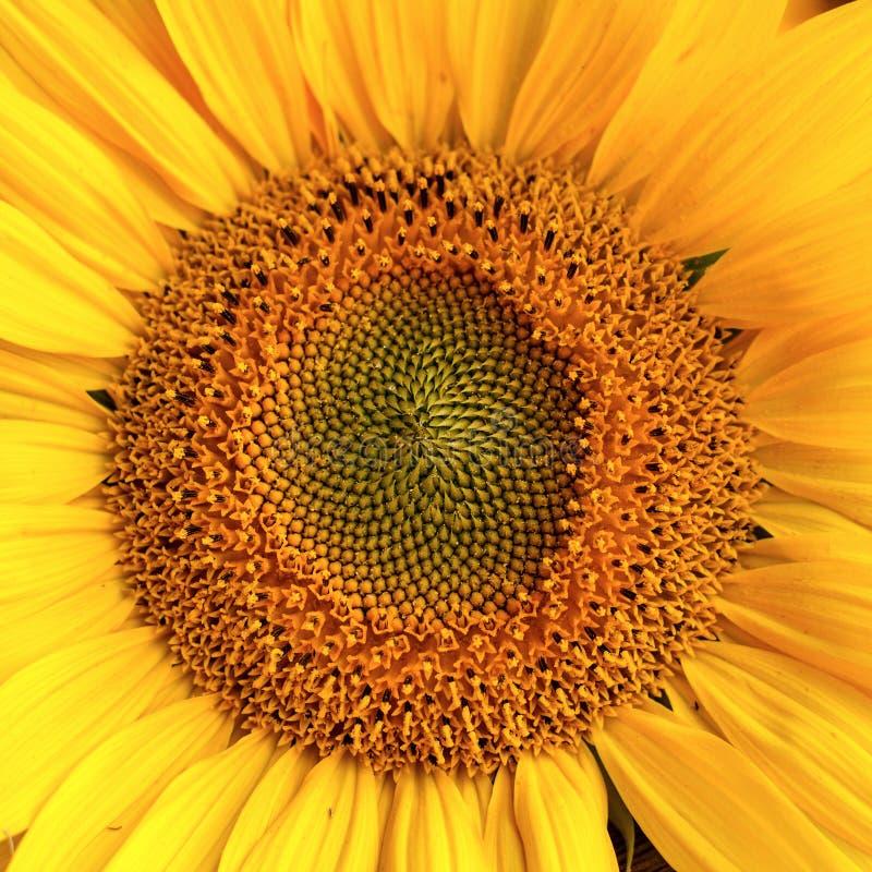 Het hoofd van de zonnebloem stock foto