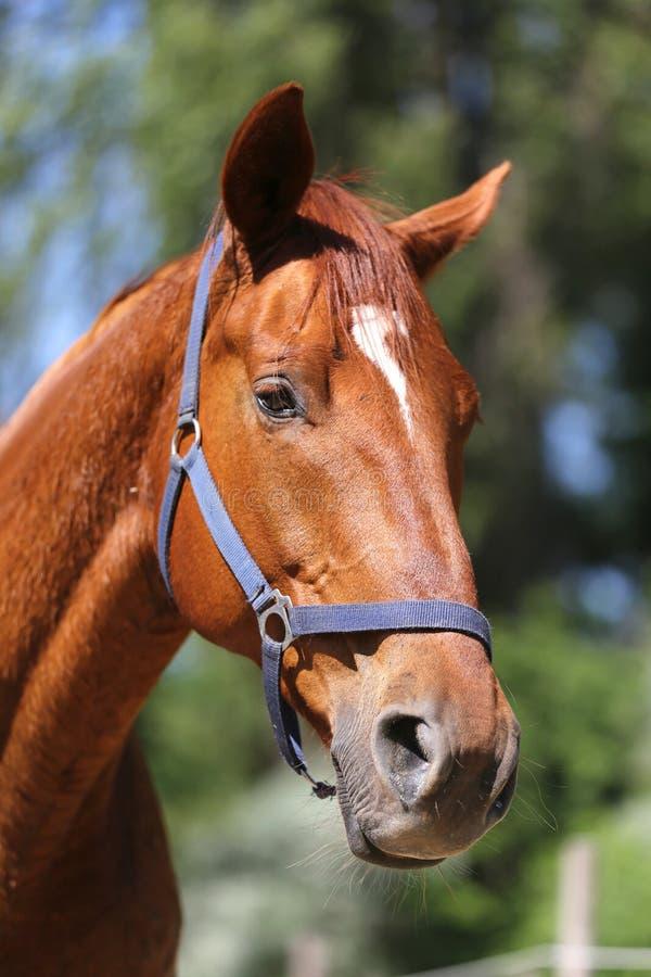 Het hoofd van een mooi jong sportpaard in drijft in openlucht zomer bijeen stock foto's