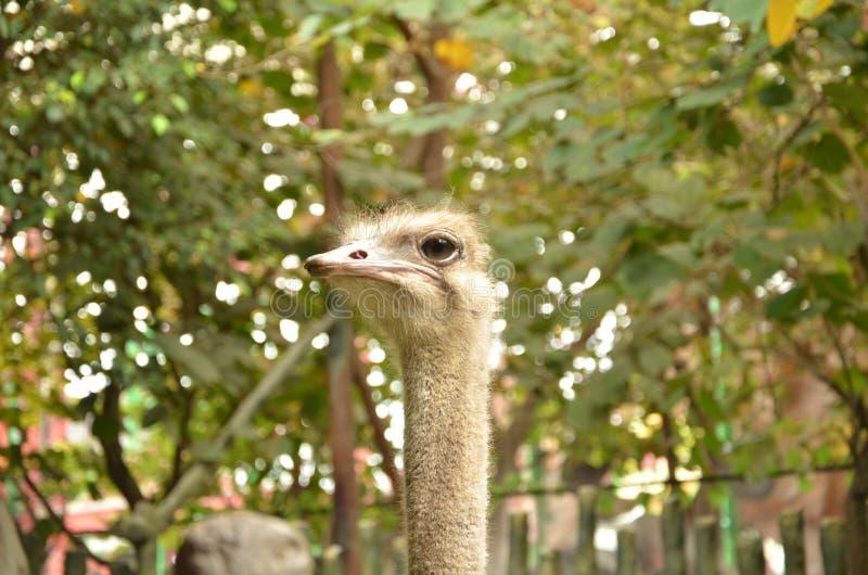 Het hoofd van een struisvogel royalty-vrije stock foto's
