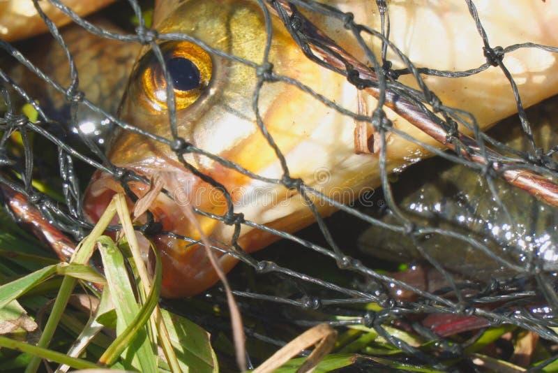 Het hoofd van een vis met rode vinnen in de kooi royalty-vrije stock fotografie
