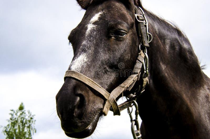 Het hoofd van een zwart paard met een witte vlek op zijn voorhoofd in een uitrusting tegen de hemel stock foto's