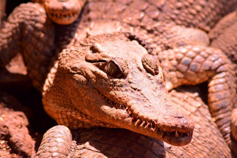 Het hoofd van estuarine krokodillen die een prooi zoeken royalty-vrije stock afbeelding