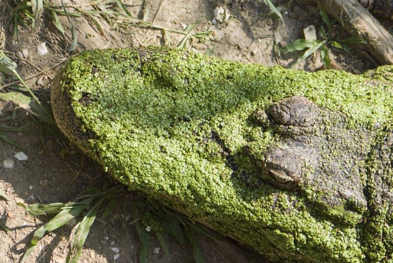 Het Hoofd van Gator royalty-vrije stock fotografie