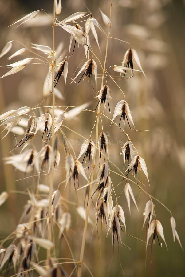 Het hoofd van het graszaad op lange stambloemen met een donker bruin centrum. royalty-vrije stock afbeeldingen