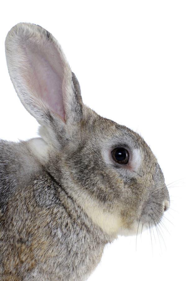 Het hoofd van het konijn royalty-vrije stock fotografie