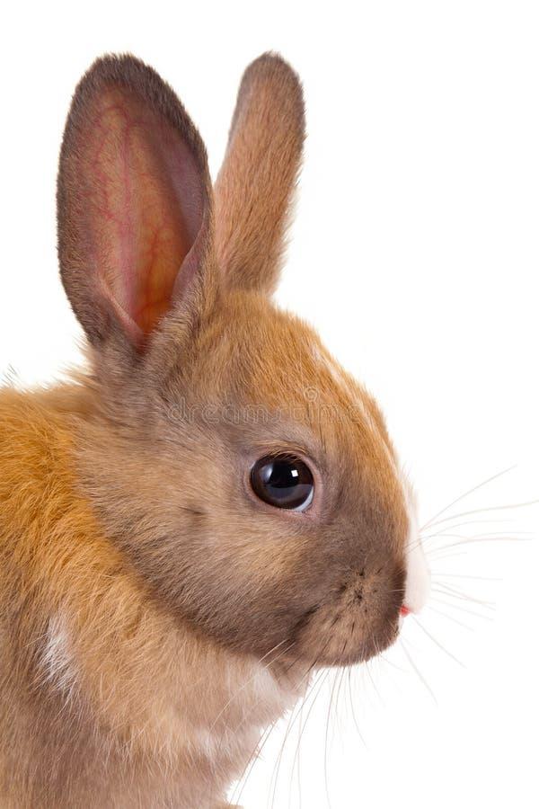 Het hoofd van het konijn royalty-vrije stock foto