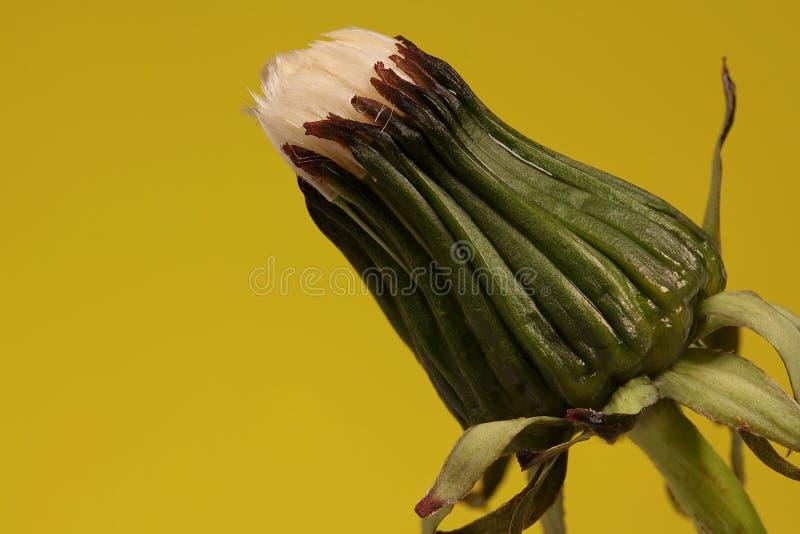 Download Het Hoofd Van Het Zaad Van De Paardebloem Stock Afbeelding - Afbeelding bestaande uit plantkunde, up: 54080493