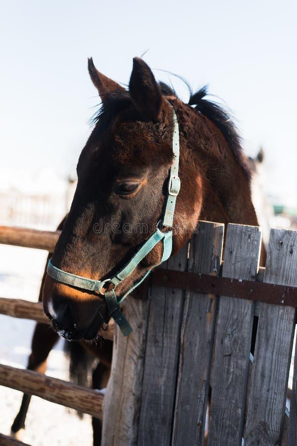 Het hoofd van het paard kijkt uit van achter een houten omheining stock afbeeldingen