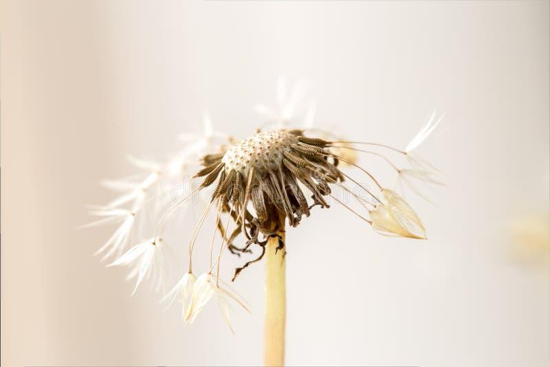 Het hoofd van het paardebloemzaad met weinig verlaten zaden stock afbeeldingen