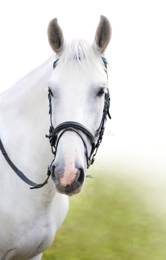 Het hoofd van wit paard stock afbeeldingen