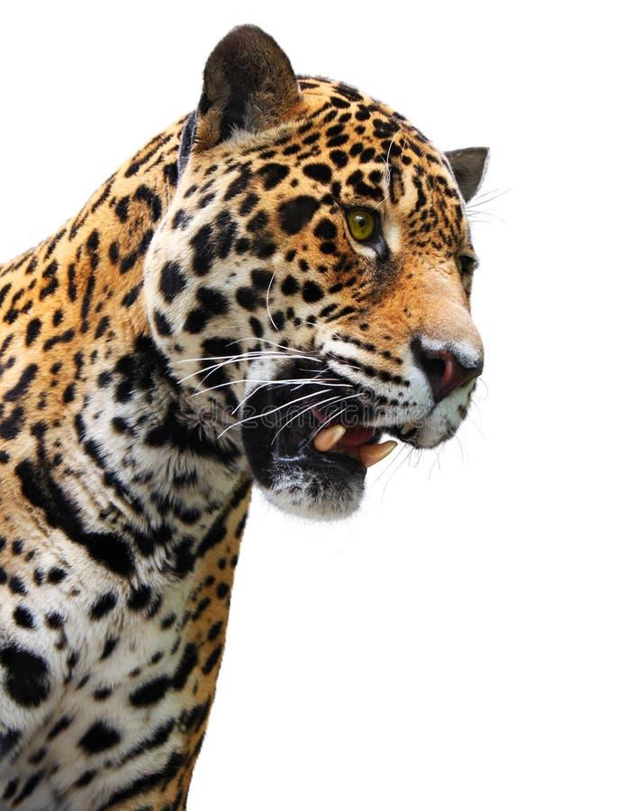 Het hoofd, wilde dier van de jaguar dat op wit wordt geïsoleerde stock foto