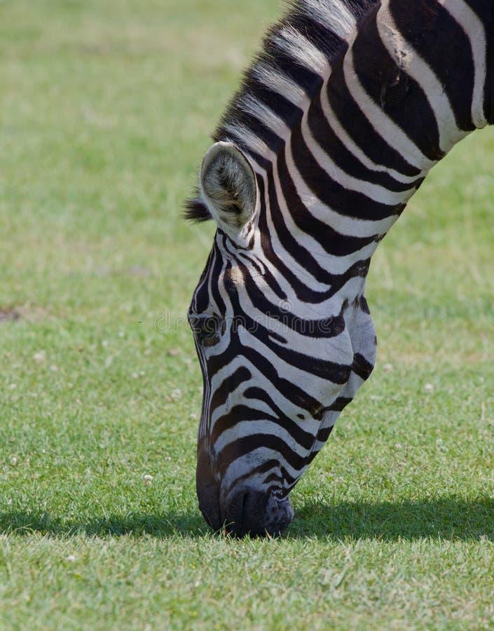 Het hoofdclose-up van de mooie zebra en het gras stock fotografie
