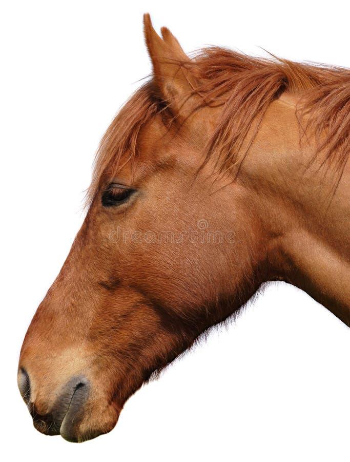 Het hoofdknipsel van paarden op wit stock foto's