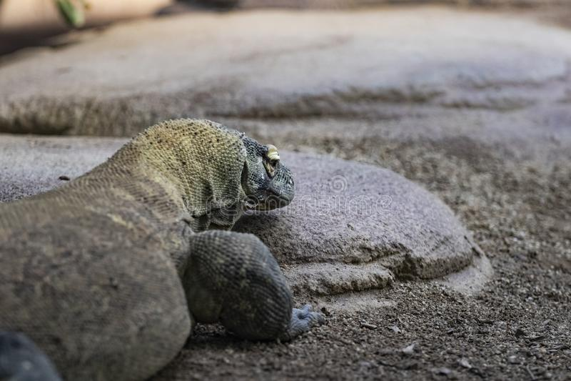 Het hoofdportret die van de Komododraak op een steen rusten stock fotografie