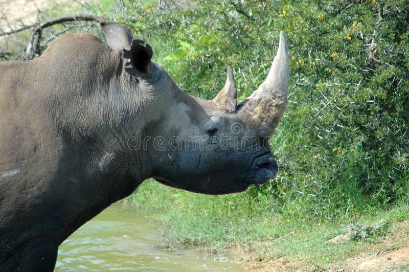 Het hoofdportret van de rinoceros stock foto