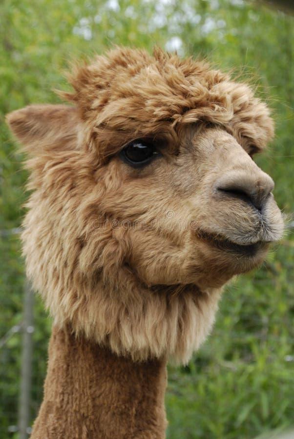 Het HoofdSchot van de alpaca royalty-vrije stock afbeelding
