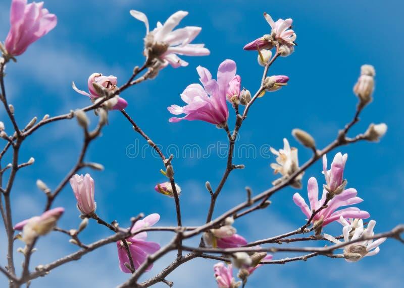 Het hoogtepunt van takken van Magnolia Loebner bloeit a stock fotografie