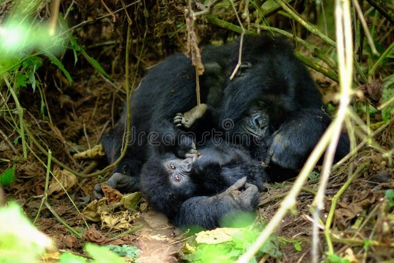 Het houden van greep van moeder en kindberggorilla in wildernis royalty-vrije stock afbeelding