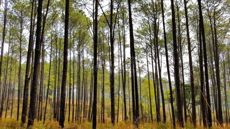 Het hout van de pijnboom royalty-vrije stock afbeelding