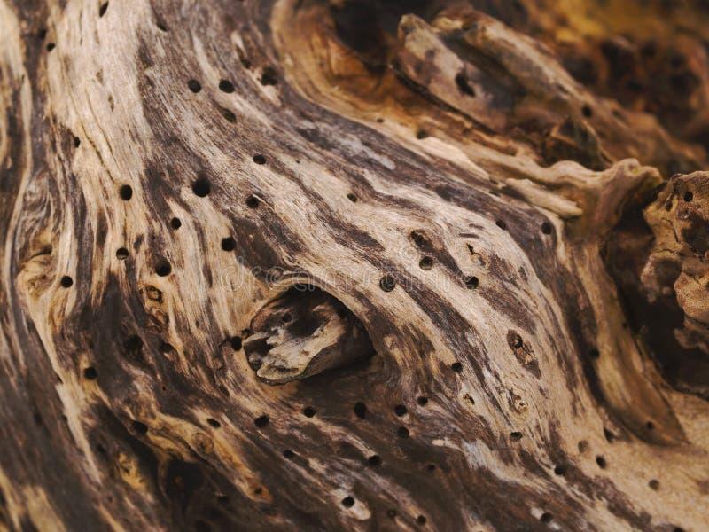 Het hout van de wilg met wormgaten royalty-vrije stock fotografie