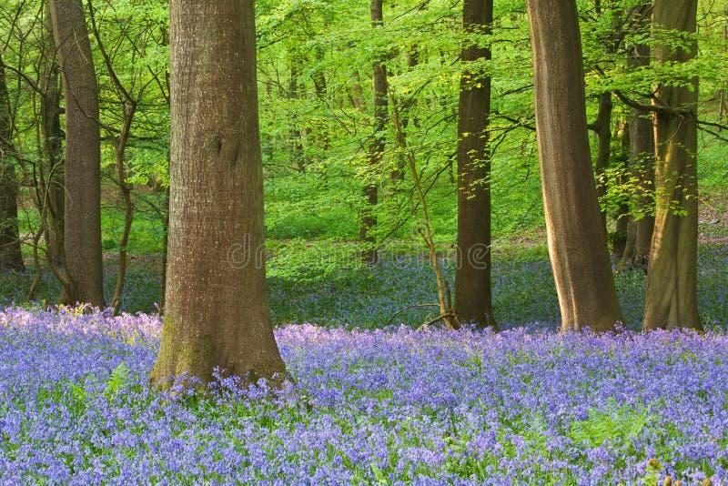 Het hout van het klokje in de lente royalty-vrije stock afbeelding