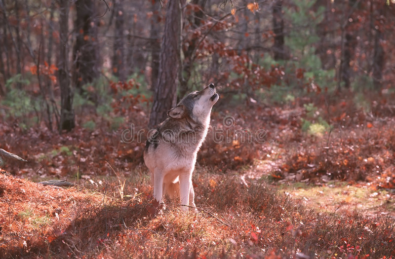Het huilen van de wolf royalty-vrije stock fotografie