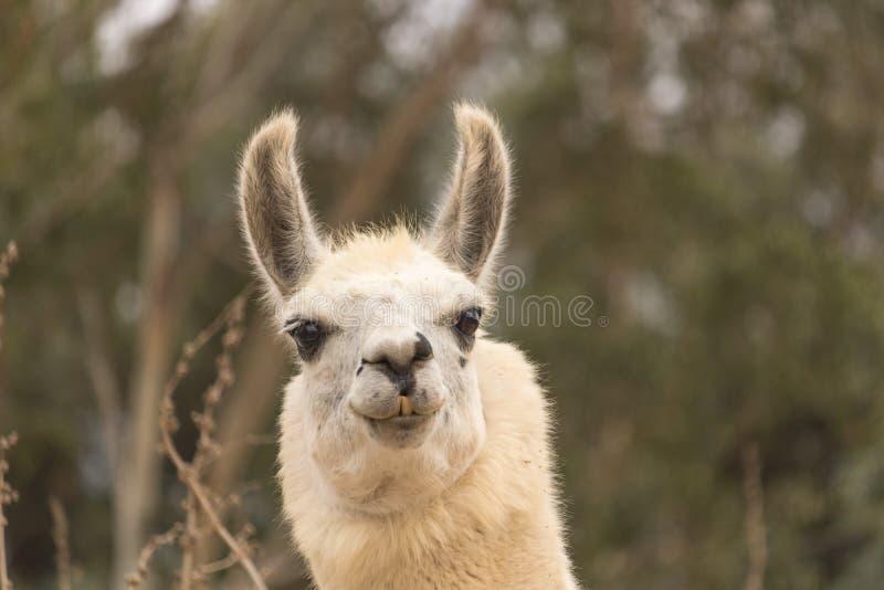 Het humoristische waakzame die hoofd van witte het glimlachen lama, alpaca wordt geschoten heeft glimlach met tanden die, oren, v royalty-vrije stock foto