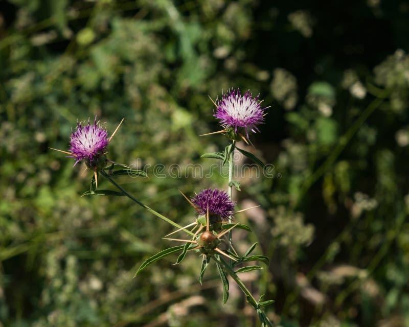 Het Iberische Knoopkruid of de ster-distel, Centaurea-iberica bloeien en knoppenclose-up, selectieve nadruk, ondiepe DOF royalty-vrije stock foto