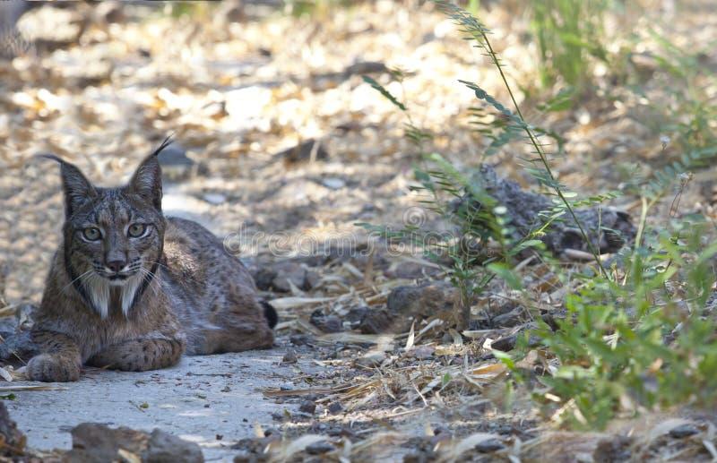 Het Iberische lynx rusten stock afbeeldingen