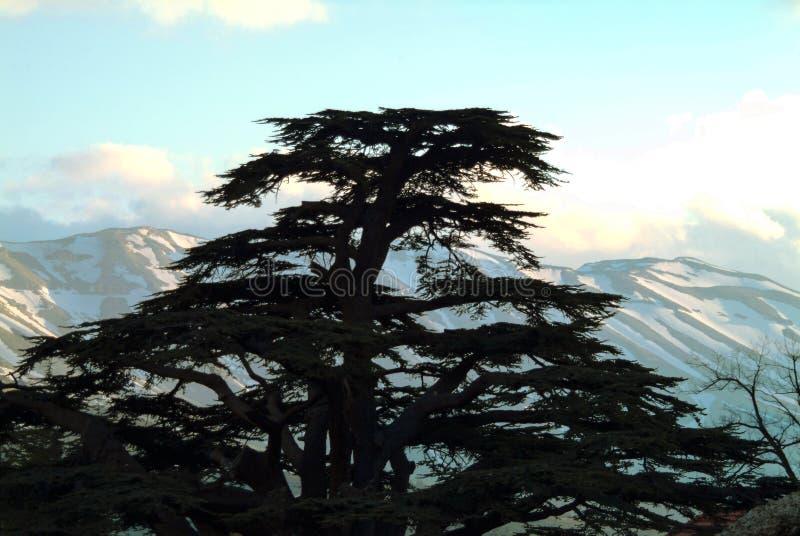 Het iconische silhouet van een ceder van Libanon - met een mening naar Tannourine stock foto's