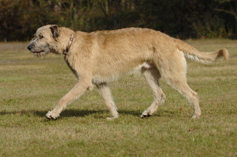 Het Ierse wolfshond bewegen zich stock afbeeldingen