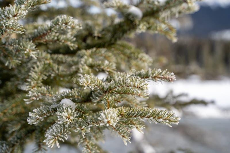 Het ijs en de sneeuw behandelden pijnboomboom - sluit omhoog van naalden met vage achtergrond stock fotografie