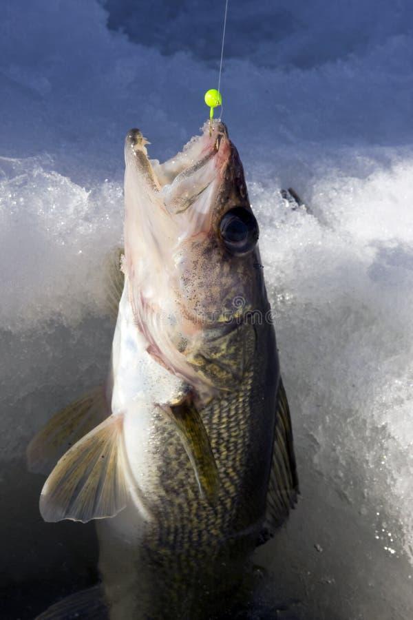 Het ijs van snoekbaarzen visserij royalty-vrije stock foto