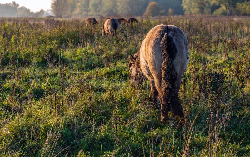 Het Ijslandse paard weiden in recente die middagzonlicht wordt bekeken van royalty-vrije stock afbeelding