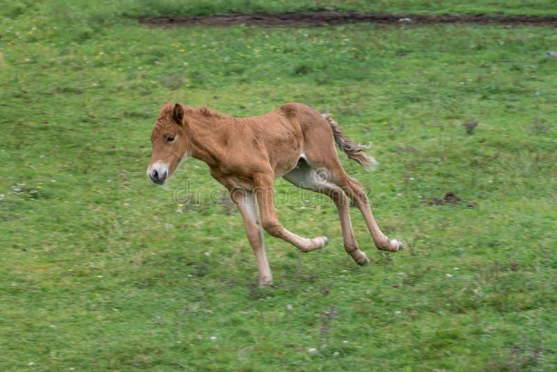 Het Ijslandse paardveulen strutting rond op een groen gebied stock fotografie
