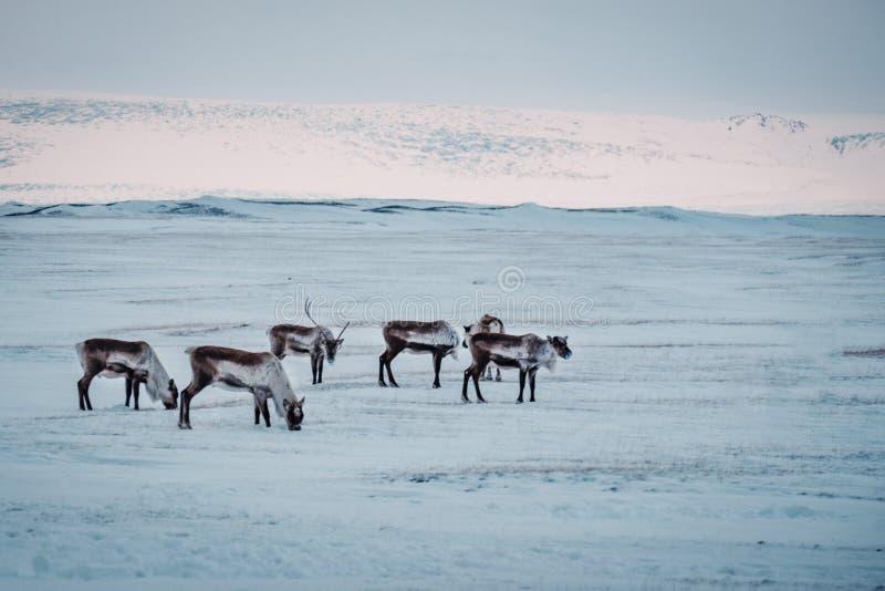Het Ijslandse rendier weiden in de winterlandschap royalty-vrije stock foto's