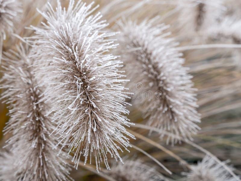 Het ijzige gras van Pennisetum alopecuroides stock fotografie