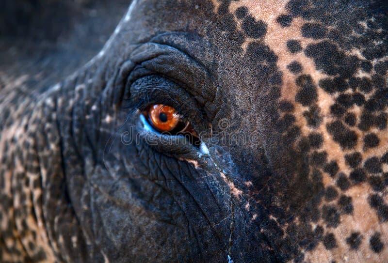 Het Indische oog van de Olifant stock afbeeldingen