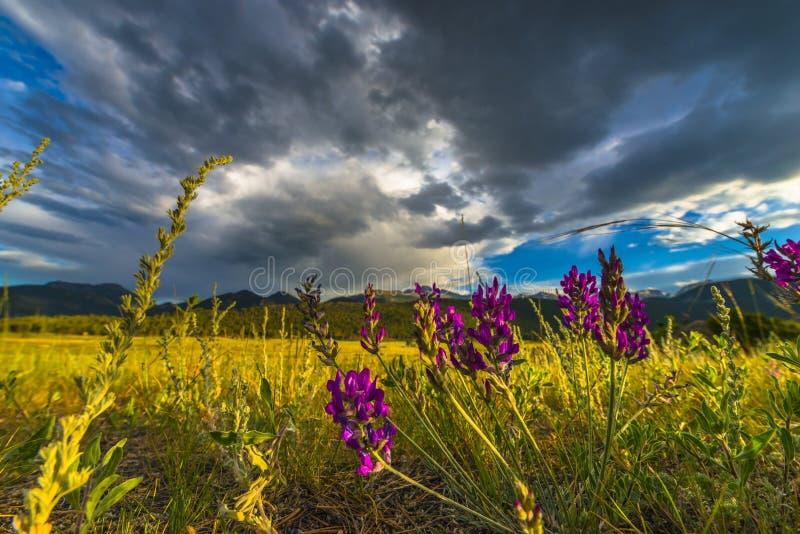 Het Indische Penseel bloeit het Landschap van Colorado stock foto's