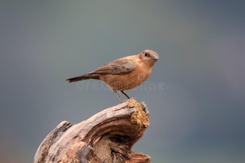 Het Indische wijfje van Robin stock afbeeldingen