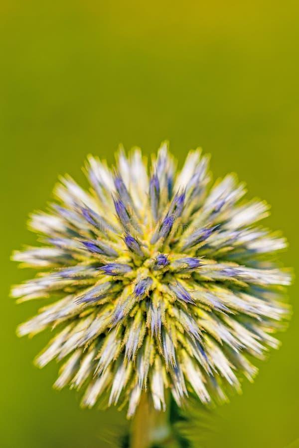 Het ingeboren bol-distel bloeien royalty-vrije stock afbeeldingen