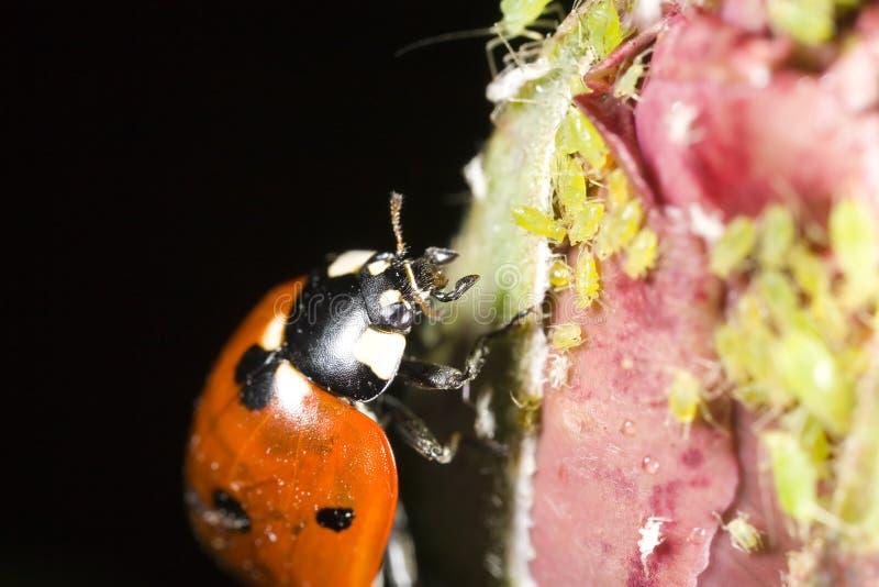 Het insect dat van de dame aphids aanvalt stock foto's