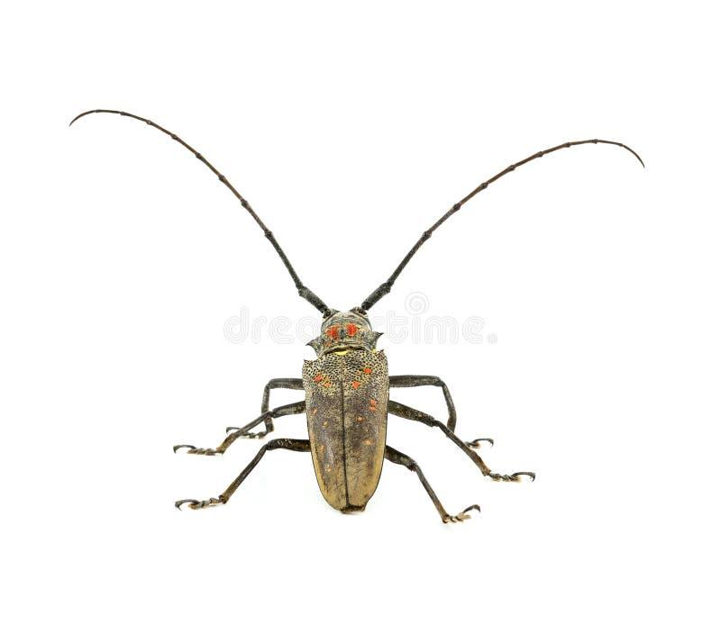 Het insect isoleerde witte achtergrond stock afbeelding
