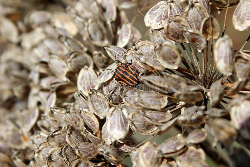 Het insect op de zaden droogt paraplubloeiwijze royalty-vrije stock foto