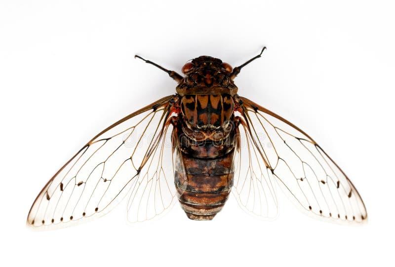 Het insect van de cicade. royalty-vrije stock fotografie