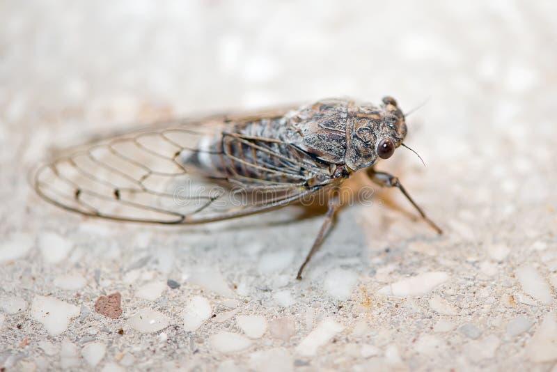 Het insect van de cicade royalty-vrije stock foto