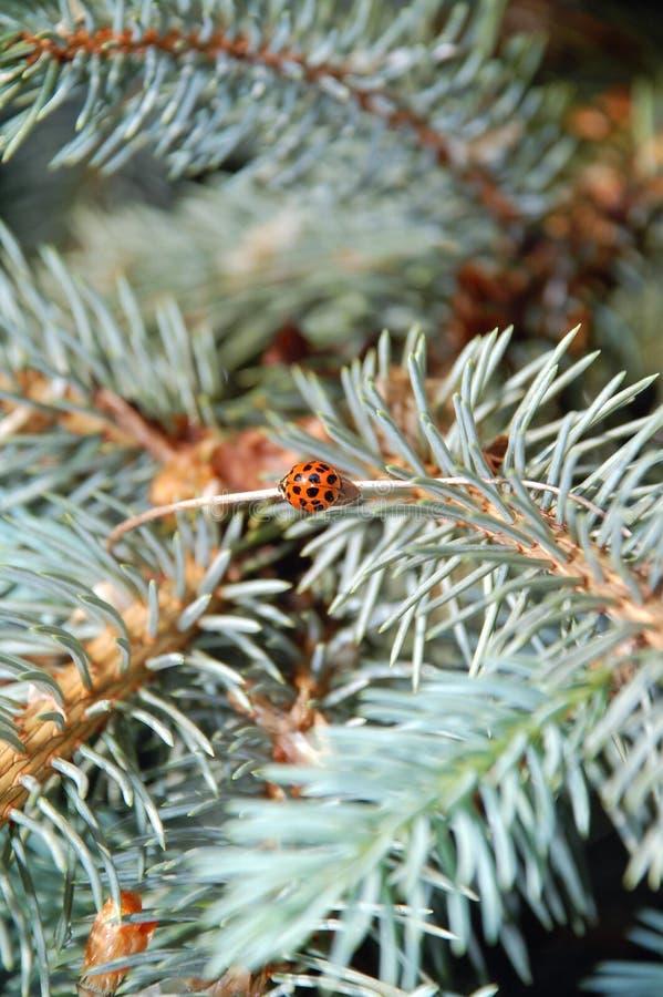 Het insect van de dame op blauwe sparren royalty-vrije stock foto