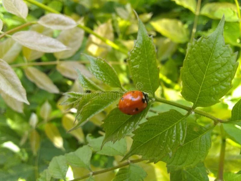 Het insect van de dame op groen blad stock foto